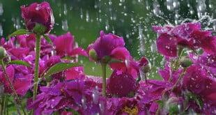 گل باران